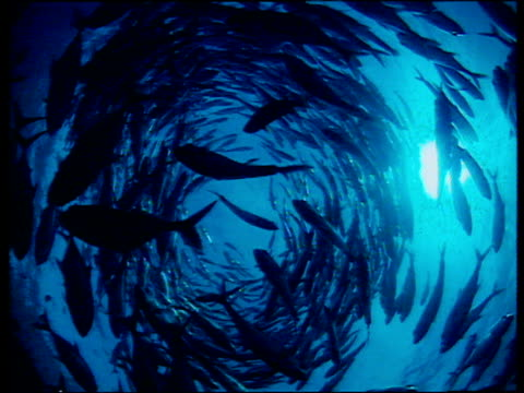shoal of fish swimming in circle with sunlight bursting through surface of sea - school of fish stock videos & royalty-free footage
