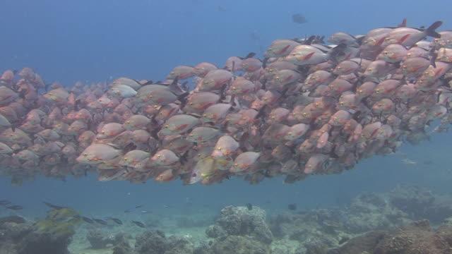 Shoal von Fisch