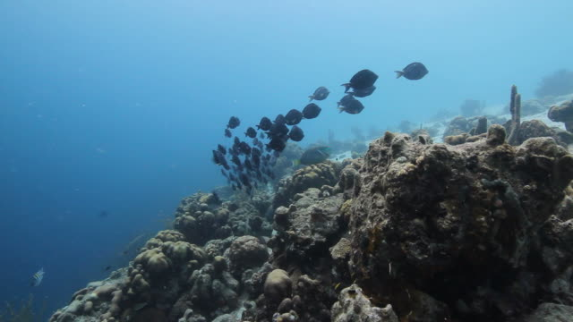 shoal of fish - surgeonfish stock videos and b-roll footage