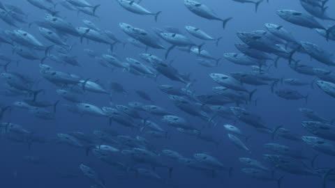 vídeos y material grabado en eventos de stock de shoal of frigate mackerel (auxis thazard) swims in blue ocean, fiji - grupo grande de animales