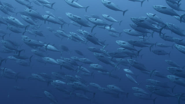 Shoal of frigate mackerel (Auxis thazard) swims in blue ocean, Fiji