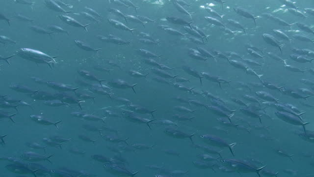 Shoal of Fusiliers