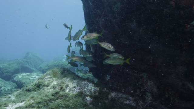 shoal of grunts shelters behind rock outcrop, brazil - grunzer stock-videos und b-roll-filmmaterial