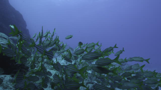 shoal of grunts swims over rock outcrop, brazil - grunzer stock-videos und b-roll-filmmaterial
