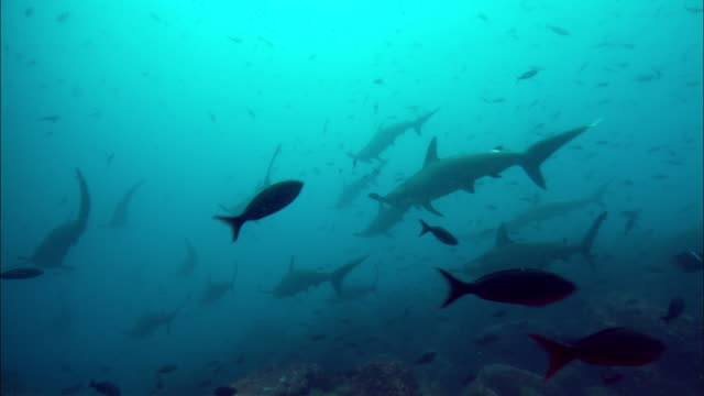 vidéos et rushes de a shoal of hammerhead sharks swim over a reef. available in hd. - chasser
