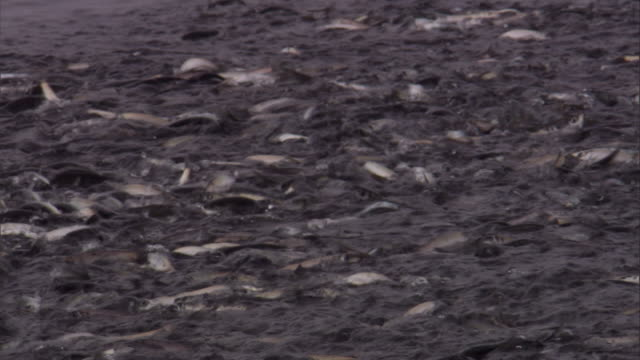 a shoal of herring agitates an ocean surface. available in hd. - pacific ocean stock videos & royalty-free footage
