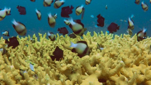 Shoal of Indian Damselfish (Dascyllus cameus) on Staghorn coral (Acropora)