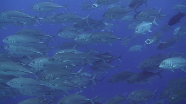 shoal of jacks - jack fish stock videos and b-roll footage