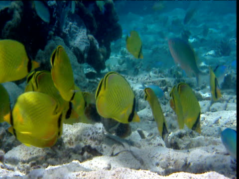 shoal of latticed butterflyfish forage on seabed, sulawesi - butterflyfish stock videos & royalty-free footage