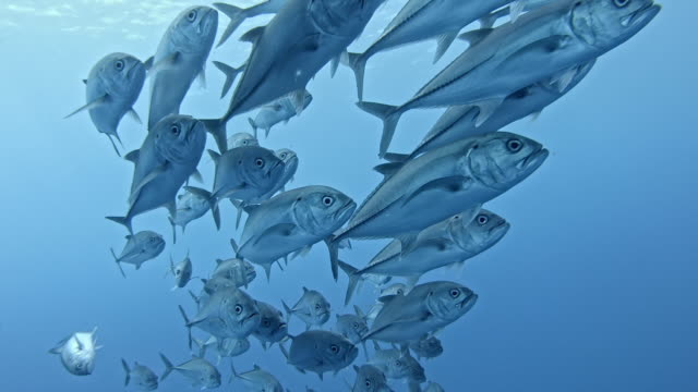 vídeos y material grabado en eventos de stock de shoal of mackerel, socorro islands - pez
