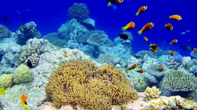 shoal der malediven-anemonenfisch - riff stock-videos und b-roll-filmmaterial