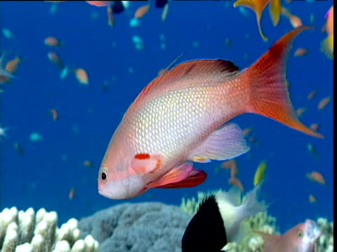shoal of male and female scalefin anthias in blue water, red sea - goldie stock videos & royalty-free footage