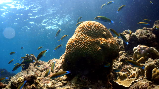 Shoal of Moon Wrasse (Thalassoma lunare) on Fragile Coral Reef Ecosystem Ocean Environment.  Using the reef as protection from predators at Koh Haa Islands, Krabi, Andaman Sea, Thailand.