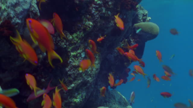 ms shoal of orange anthias fish swimming around coral head / egypt - anthias fish stock videos & royalty-free footage