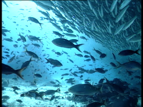 Shoal of Pacific Creole fish and Brown striped snappers, Galapagos