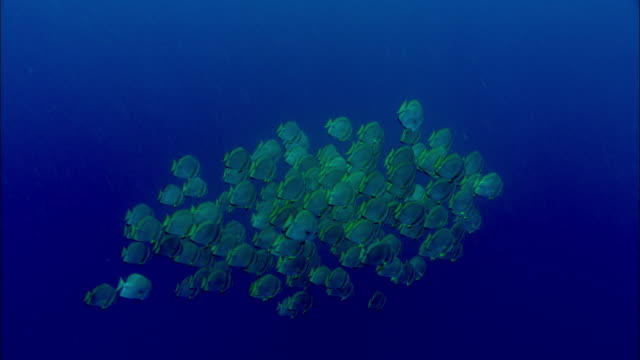 Shoal of pinnate spadefish (Platax pinnatus) swim over coral reef, Manado, Indonesia
