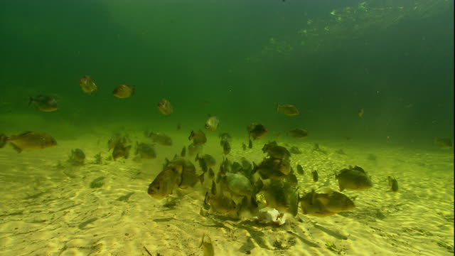 A shoal of piranhas feeds on dead fish in a swamp. Available in HD.