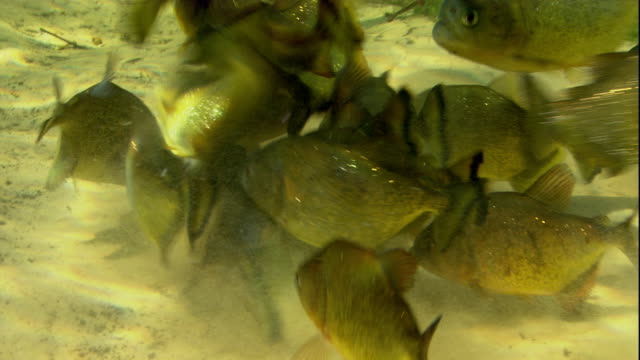 vídeos de stock, filmes e b-roll de a shoal of piranhas feeds on dead fish in a swamp. available in hd. - onívoro
