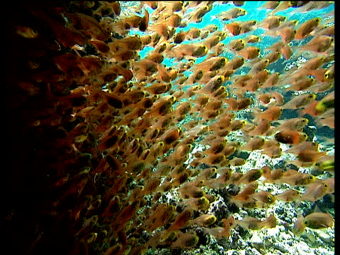 shoal of pygmy sweepers dart over coral reef - wirbelloses tier stock-videos und b-roll-filmmaterial