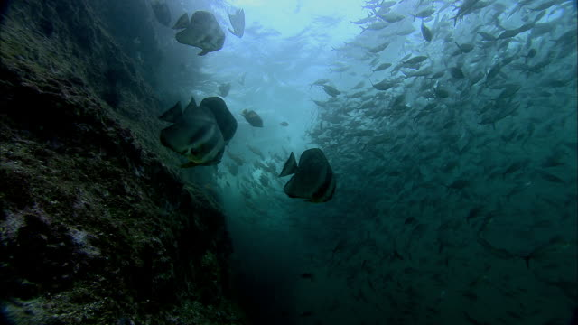 Shoal of reef fish by underwater rockface, Dubai, UAE