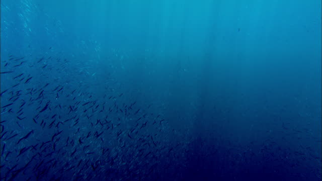 Shoal of reef fish shimmers in sunlight over coral reef, Manado, Indonesia