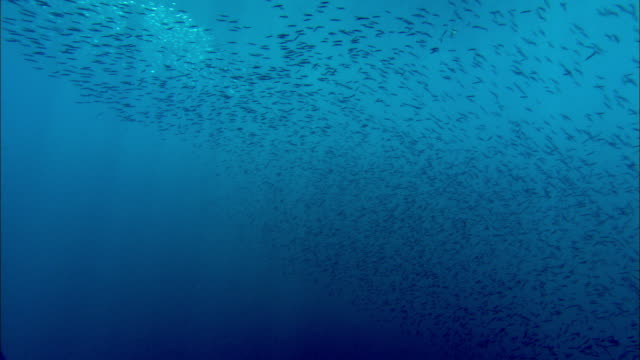 shoal of reef fish shimmers in sunlight over coral reef, manado, indonesia - school of fish stock videos & royalty-free footage
