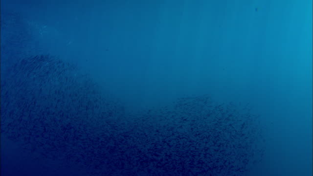 shoal of reef fish shimmers in sunlight over coral reef, manado, indonesia - fischschwarm stock-videos und b-roll-filmmaterial