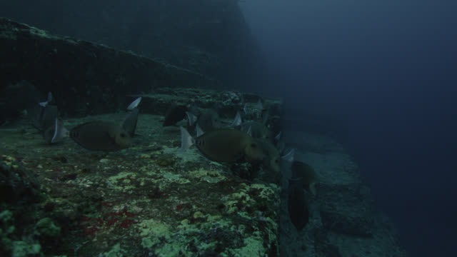 Shoal of scalpel sawtails (Prionurus scalprum) feed and swim over rock ledge of Yonaguni monument. Japan
