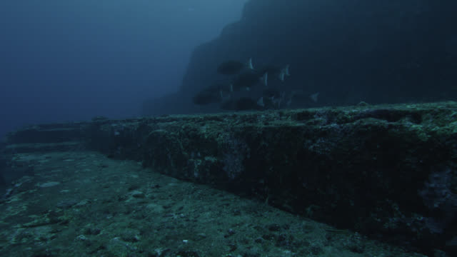 Shoal of scalpel sawtails (Prionurus scalprum) feed on rock ledge of Yonaguni monument. Japan