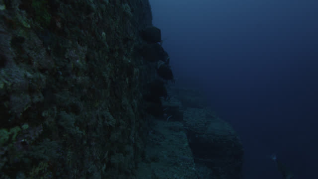 Shoal of scalpel sawtails (Prionurus scalprum) feed on rock wall of Yonaguni monument. Japan