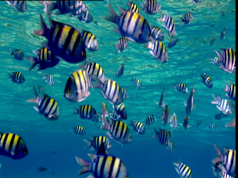 Shoal of Sergeant Major fish swim