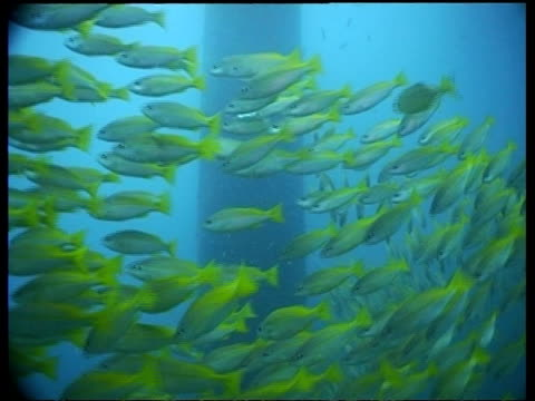 mcu shoal of spanish flag snapper fish, malaysia - snapper fish stock videos & royalty-free footage