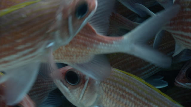 Shoal of squirrelfish (Holocentrus adscensionis), Ascension Island