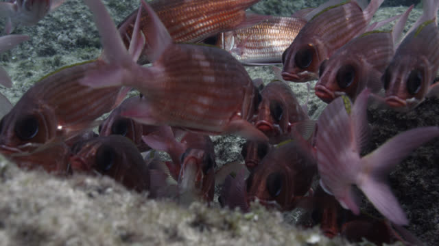 shoal of squirrelfish shelters in rock crevice, brazil - crevice stock videos & royalty-free footage