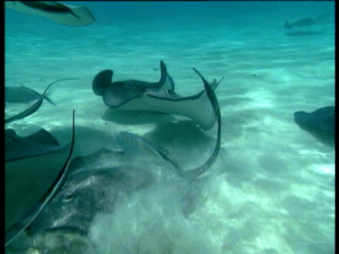 shoal of stingrays swim over white sandy tropical sea floor, bahamas - stingray stock videos and b-roll footage