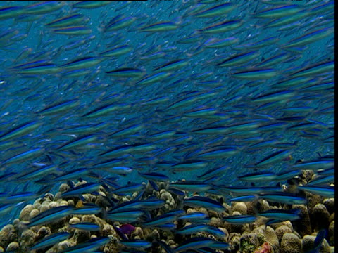 stockvideo's en b-roll-footage met shoal of striated fusiliers swim over reef, tilt down to reef, sulawesi - ongewerveld dier