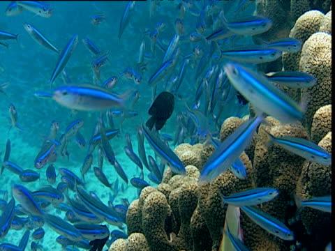 stockvideo's en b-roll-footage met shoal of striated fusiliers swims over reef, sulawesi - ongewerveld dier