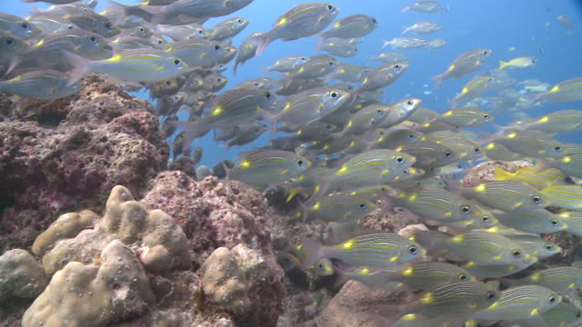 Shoal of Striped Large-eye Breams (Gnathodentex aureolineatus) and Bluelined Snappers (Lutjanus kasmira), Kuda Huraa, North Male Atoll, The Maldives
