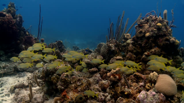 stockvideo's en b-roll-footage met shoal of yellow and blue tropical fish in caribbean - gruntfish