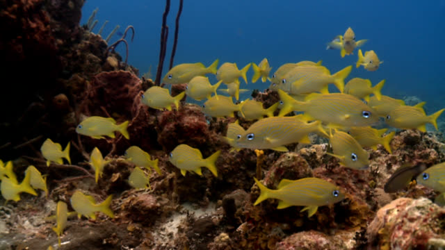 Shoal of yellow and blue tropical fish in Caribbean