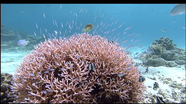 Shoals of fish dart over coral in bright blue sea, Kerama Islands, Okinawa, Japan, Diving Shot