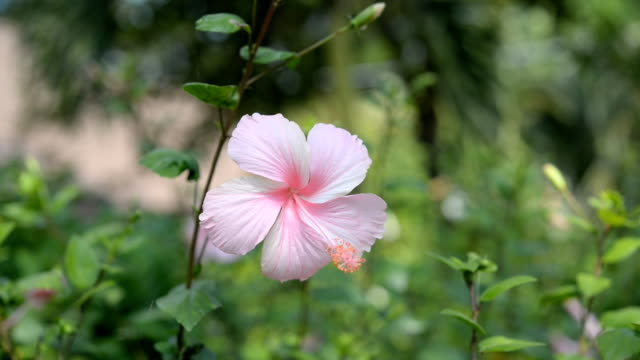 vídeos de stock e filmes b-roll de sapato flor de hibisco, chinês levantou-se - aloha