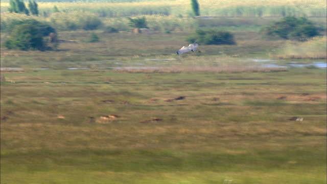 shoebill flying over bangweulu marsh, zambia, africa - zambia stock videos & royalty-free footage
