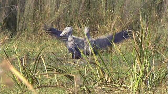 a shoebill flying to another shoebill, bangweulu marsh, zambia, africa - area selvatica video stock e b–roll