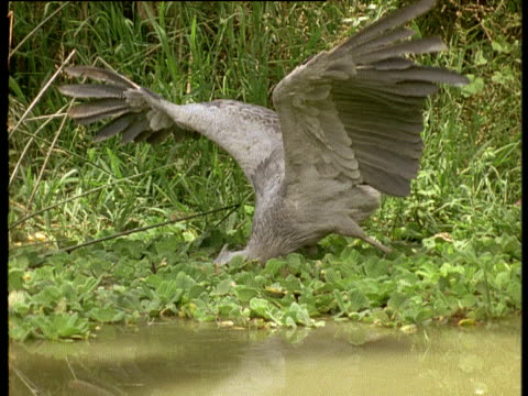 shoebill stork lunges for lungfish in swamp, uganda - animal wing stock videos & royalty-free footage