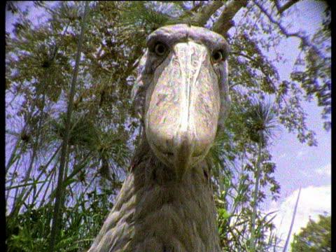 Shoebill stork peers into camera