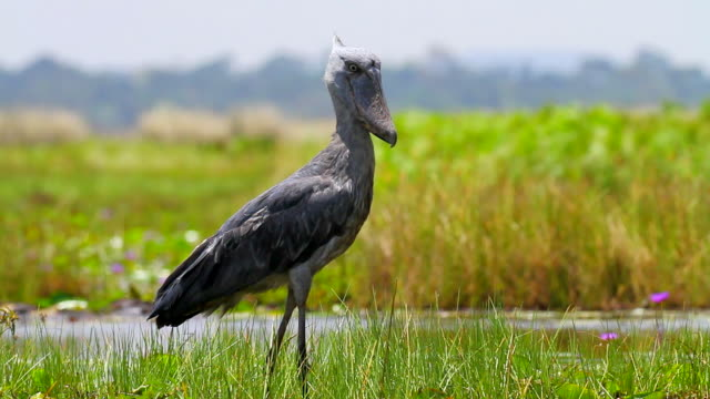 shoebill - bedrohte tierart stock-videos und b-roll-filmmaterial
