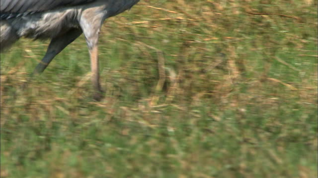 shoebill's legs striding across bangweulu marsh, zambia, africa - named wilderness area stock videos & royalty-free footage