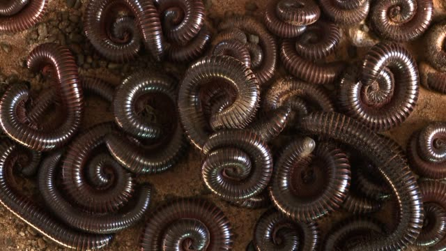 A shongololo uncoils in the middle of a group of coiled shongololos. Available in HD.