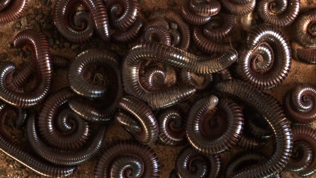 A shongololo uncoils in the middle of a pile of coiled shongololos. Available in HD.
